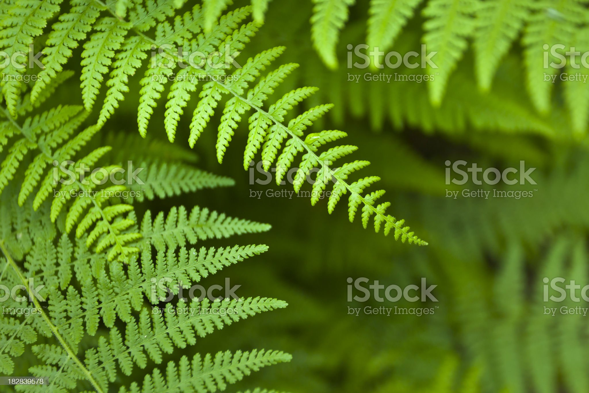 Green Fern royalty-free stock photo