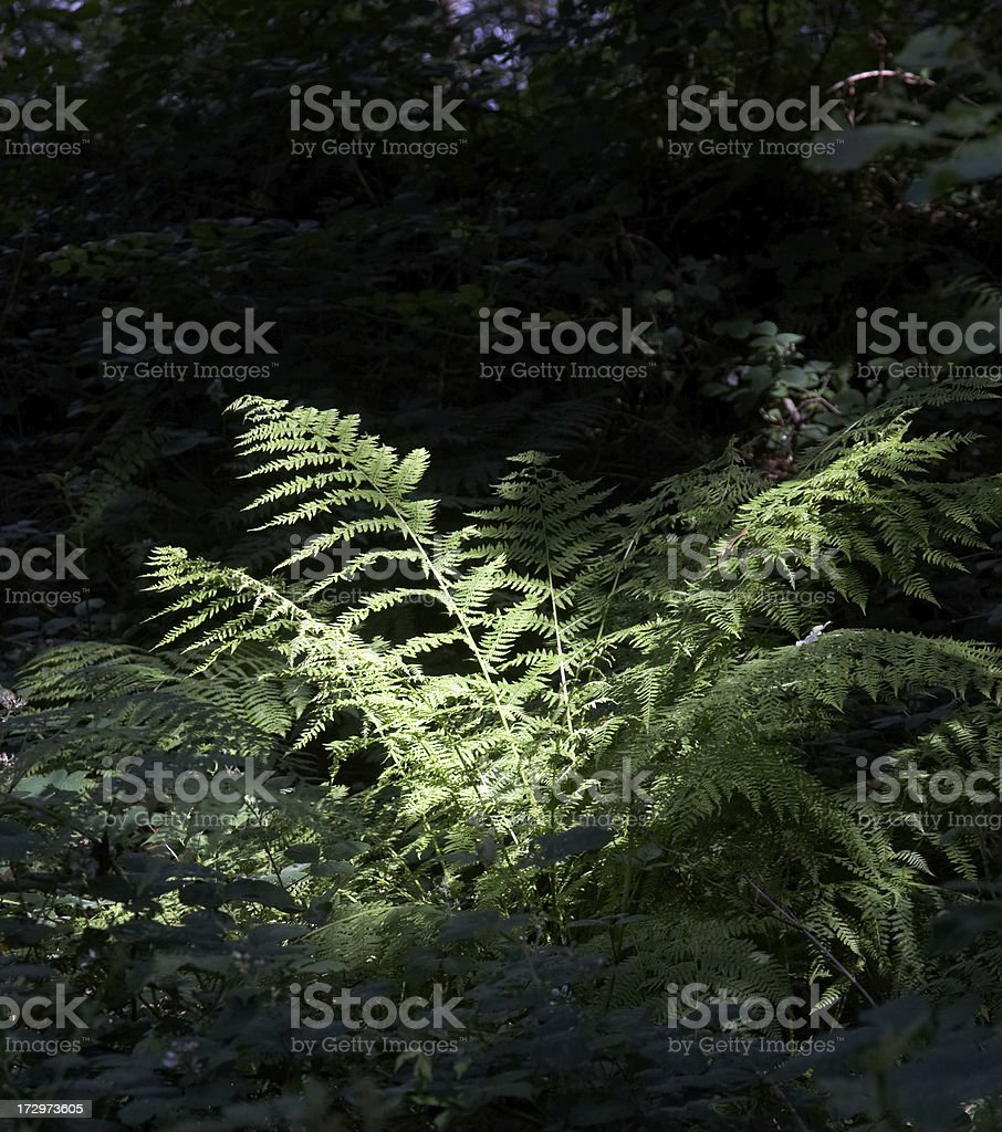 Green ferns in shaft of sunlight royalty-free stock photo