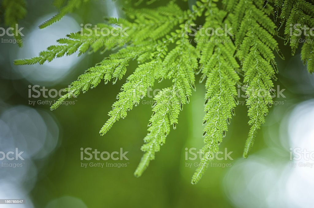 Green Ferns Leaves stock photo
