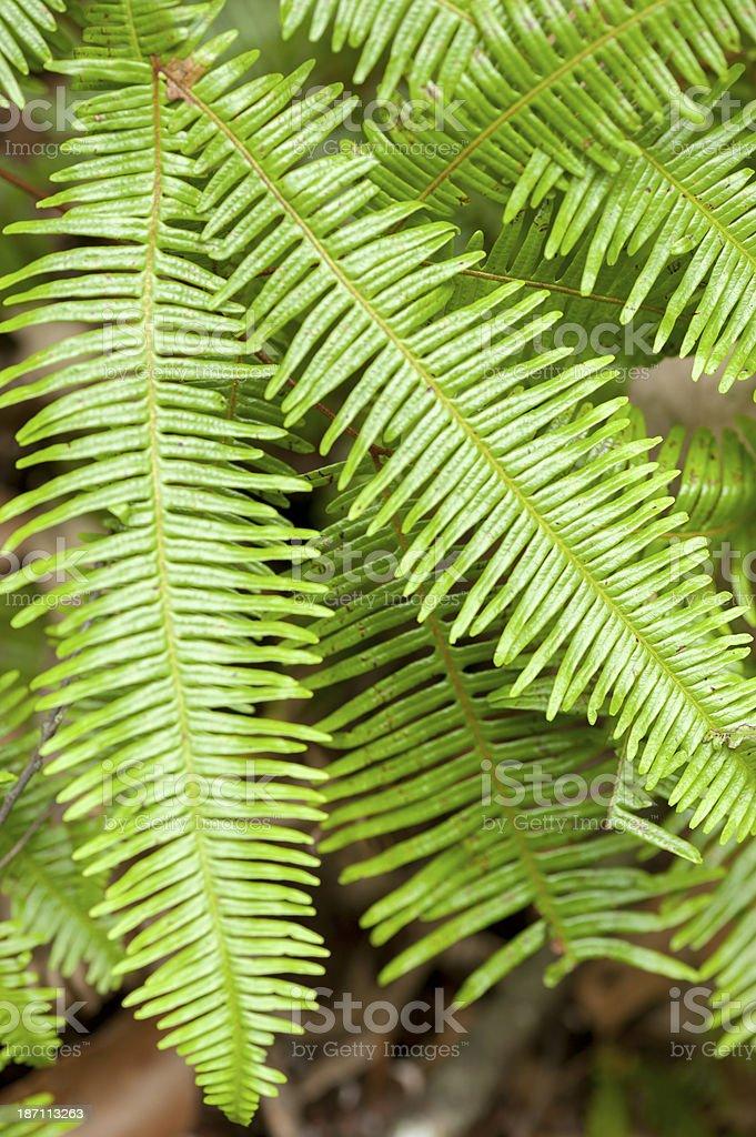 Green Ferns stock photo