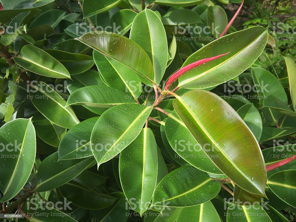 Green Ficus background stock photo
