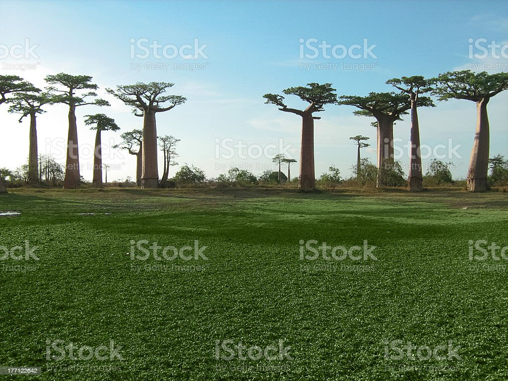 Green field and baobab trees royalty-free stock photo
