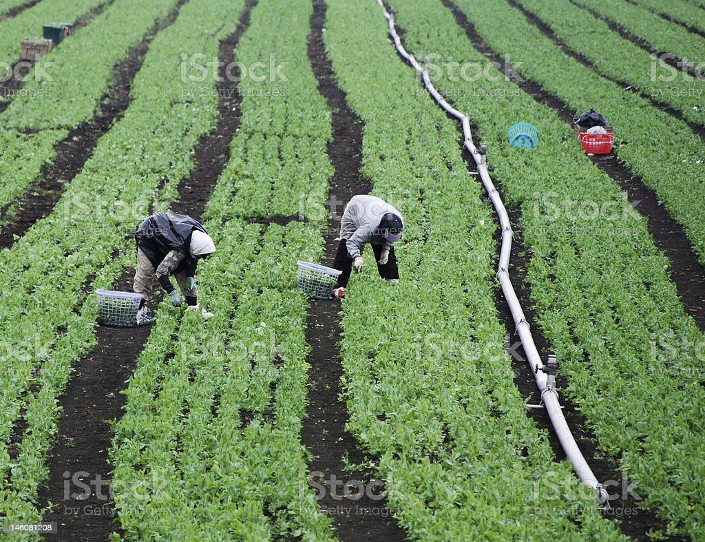 Green field and farm workers stock photo