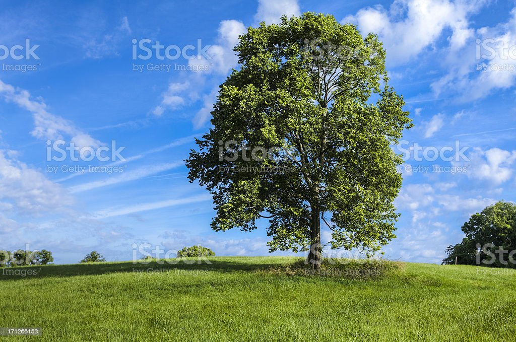 Green Field and Large Tree stock photo