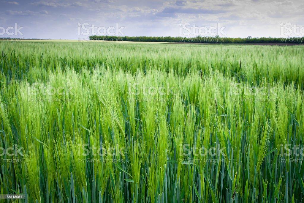 Green field crops stock photo