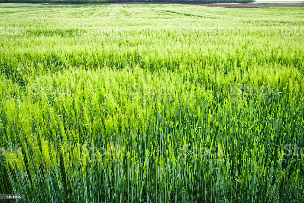 Green field crops stock photo