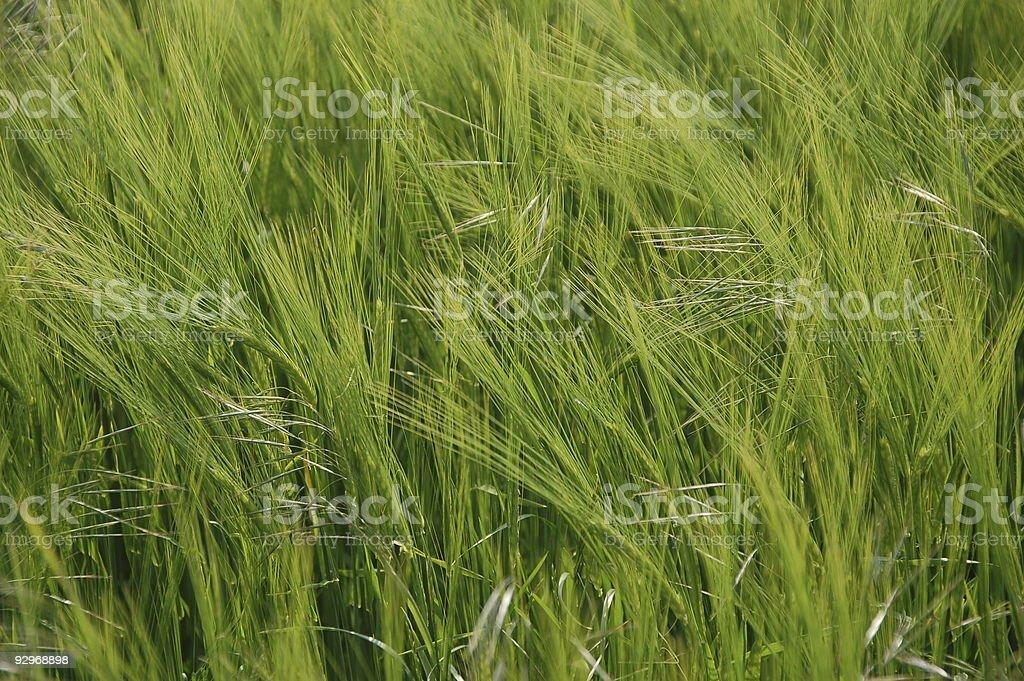green field of barley stock photo