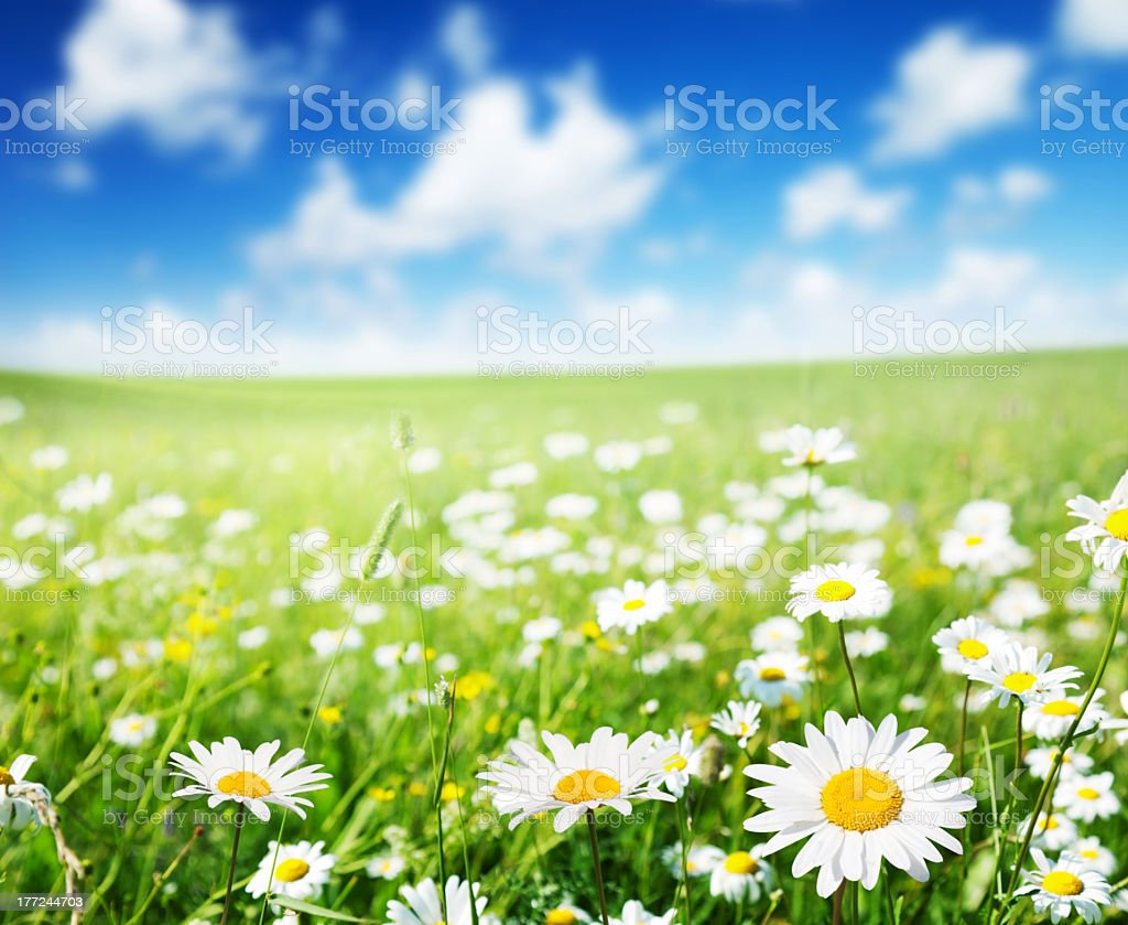 Green field of daisies under blue sky with scattered clouds stock photo