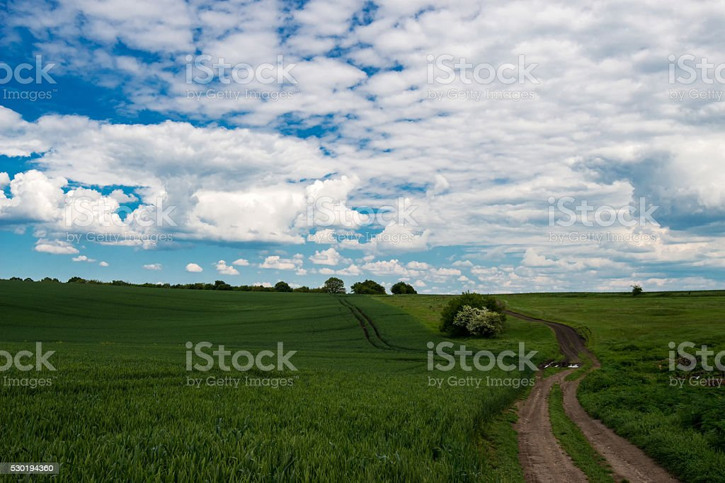 green field of wheat and spring sky with white clouds stock photo