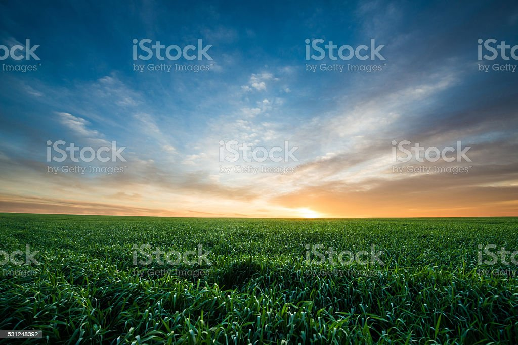 Green field of wheat at sunrise stock photo