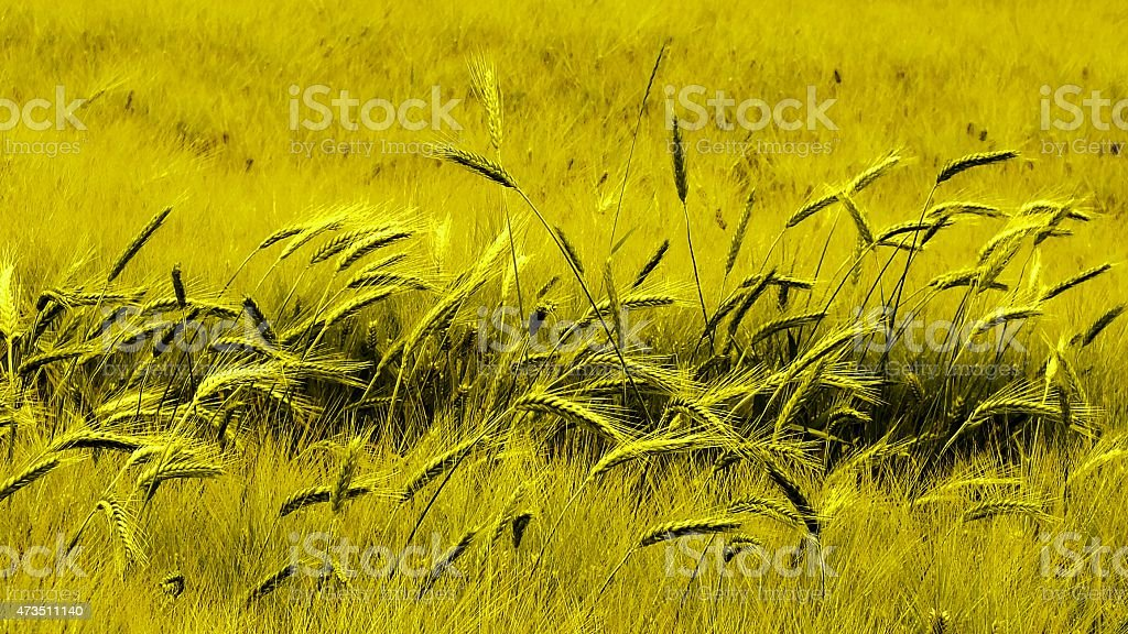 Green field of young wheat stock photo