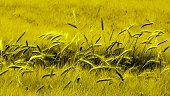 Green field of young wheat