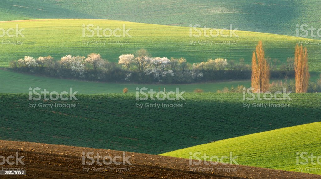 Green Field Rolling Landscape With White Tree.Landscape With White Springtime Flowering Trees On Background Green Hill, Which Is Highlighted By Setting Sun.Natural Seasonal Landscape In Green Color stock photo