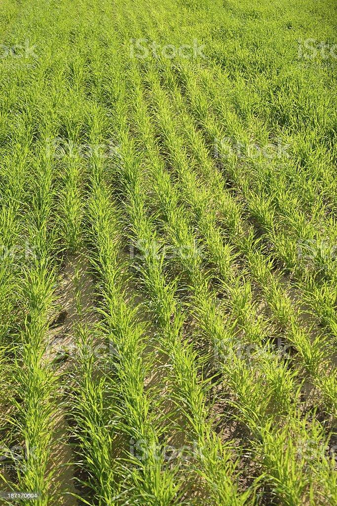 Green Field - wheat crops stock photo