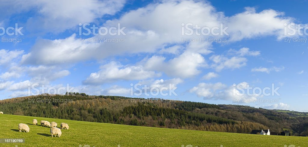 Green field, white sheep, blue sky royalty-free stock photo
