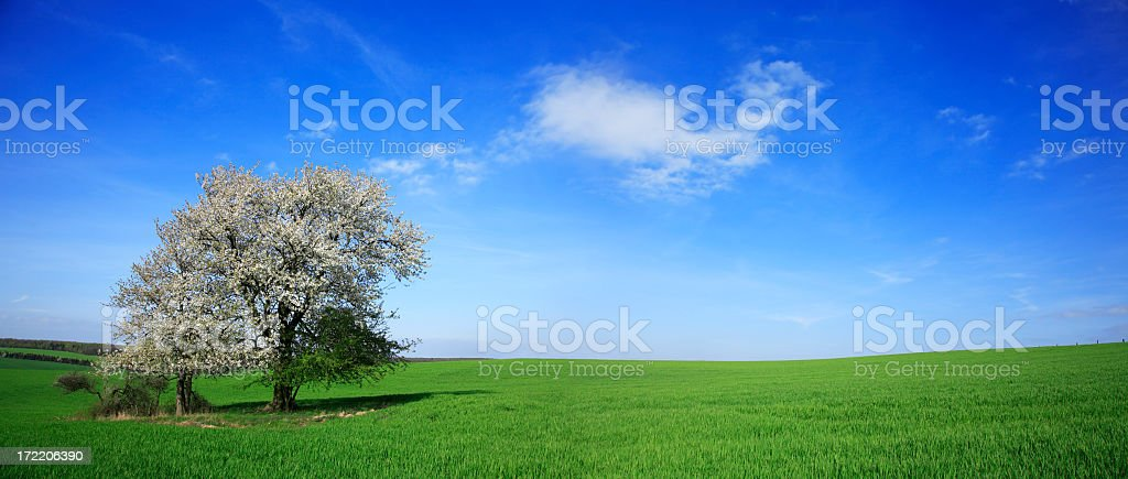 Green Field with Blossoming Cherry Tree royalty-free stock photo