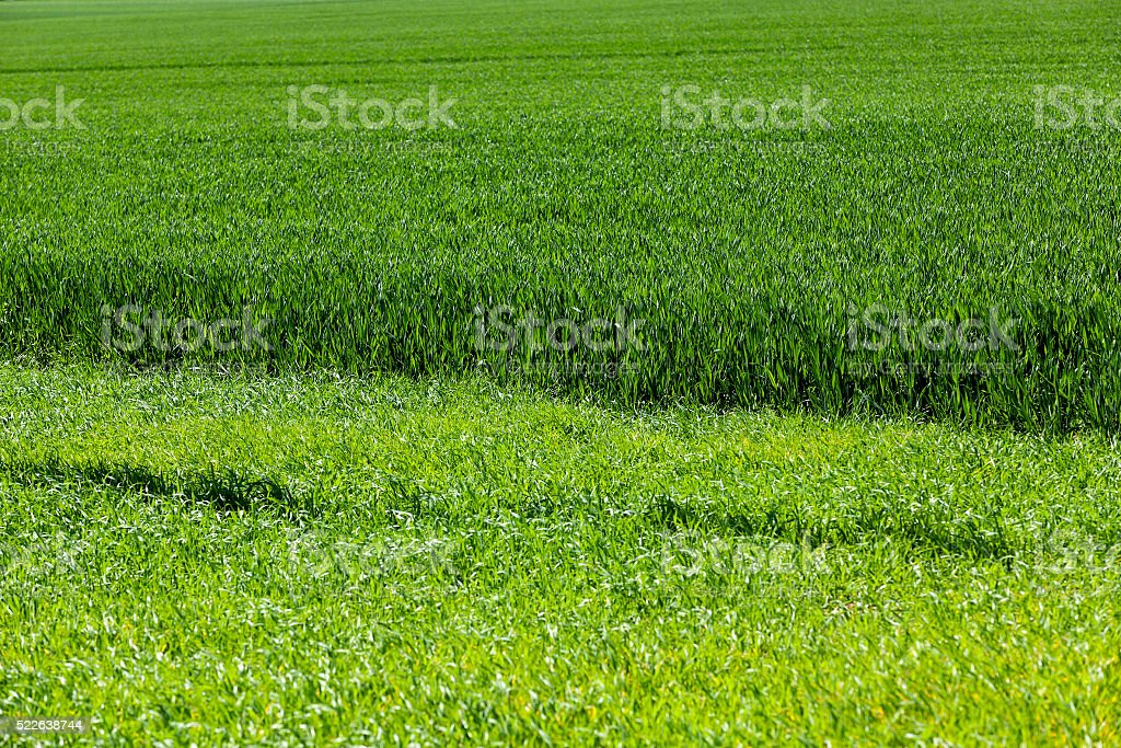 green field with cereal stock photo