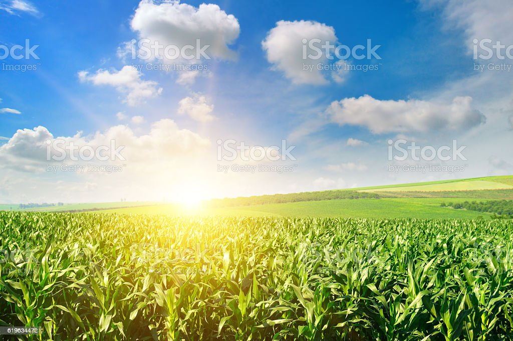 Green field with corn and blue cloudy sky. stock photo