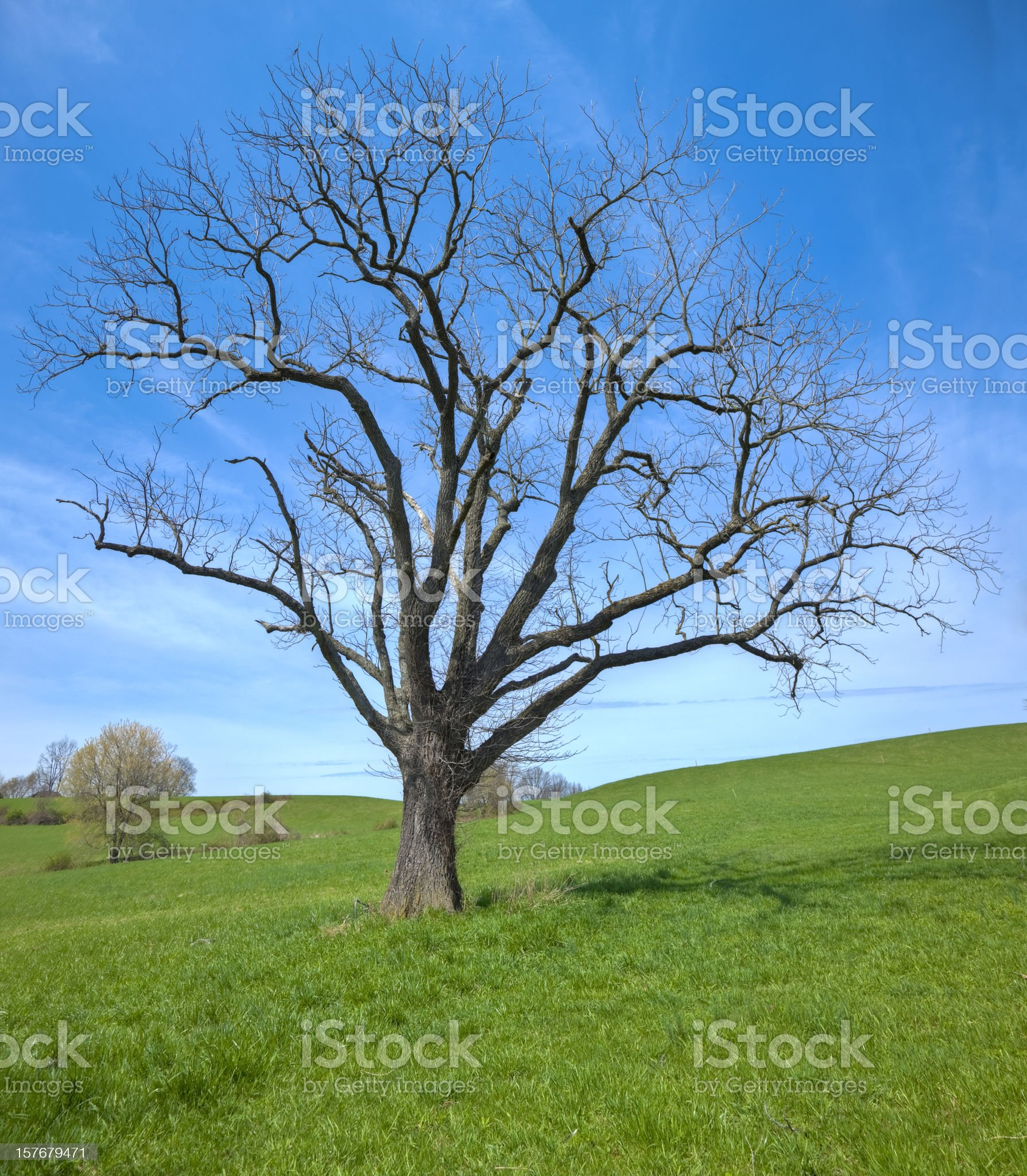 Green Field with Lonely Leaf-less Tree in Early Spring royalty-free stock photo