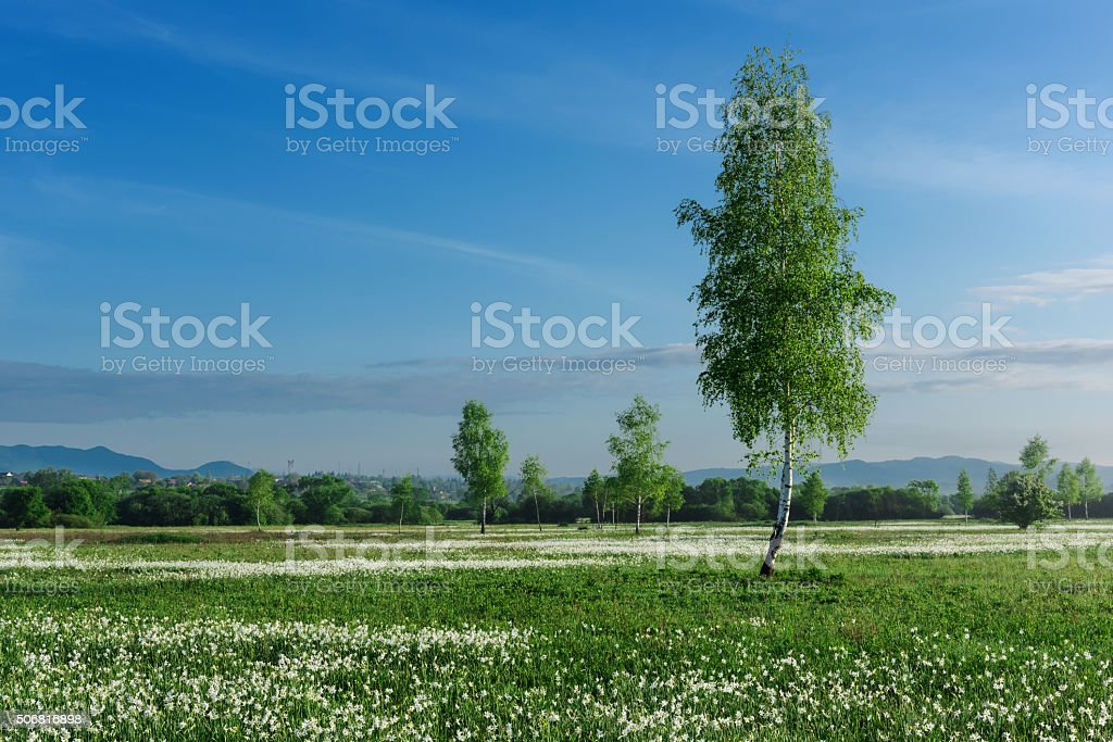 Green field with white flowers and blue sky stock photo