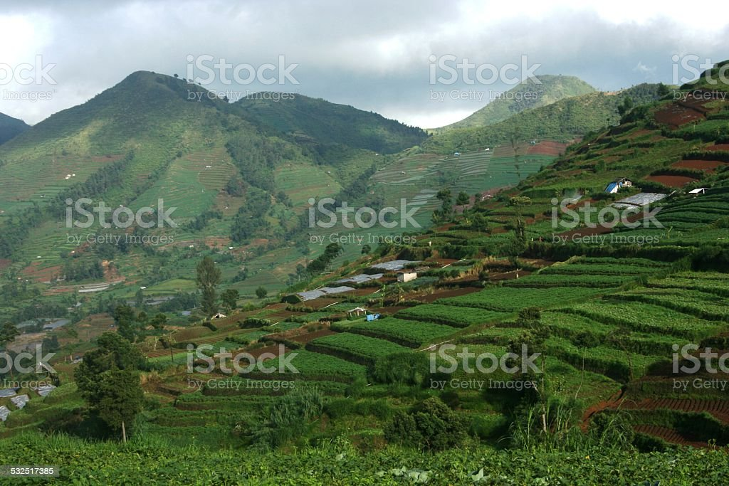 Green fields at Dieng Plateau stock photo