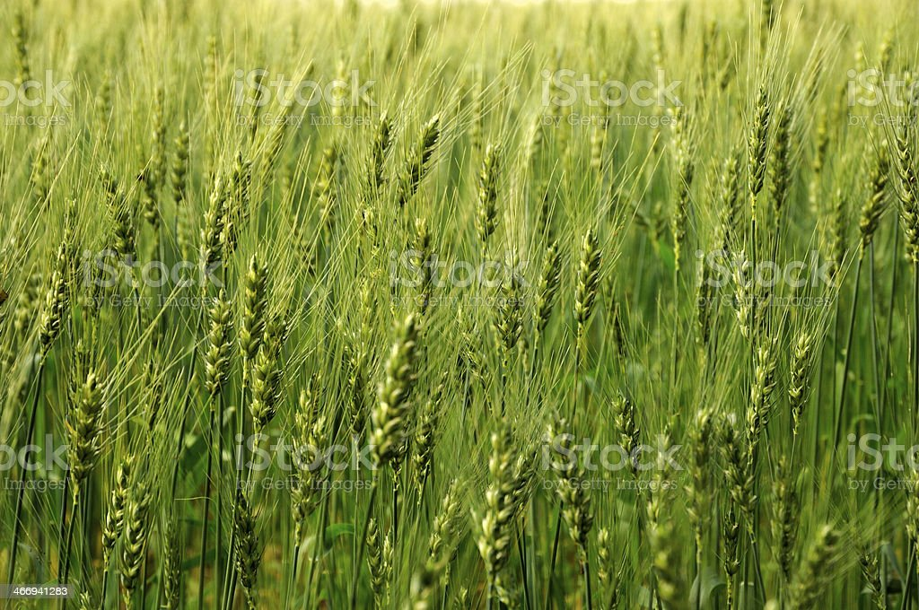Green fields of barley royalty-free stock photo