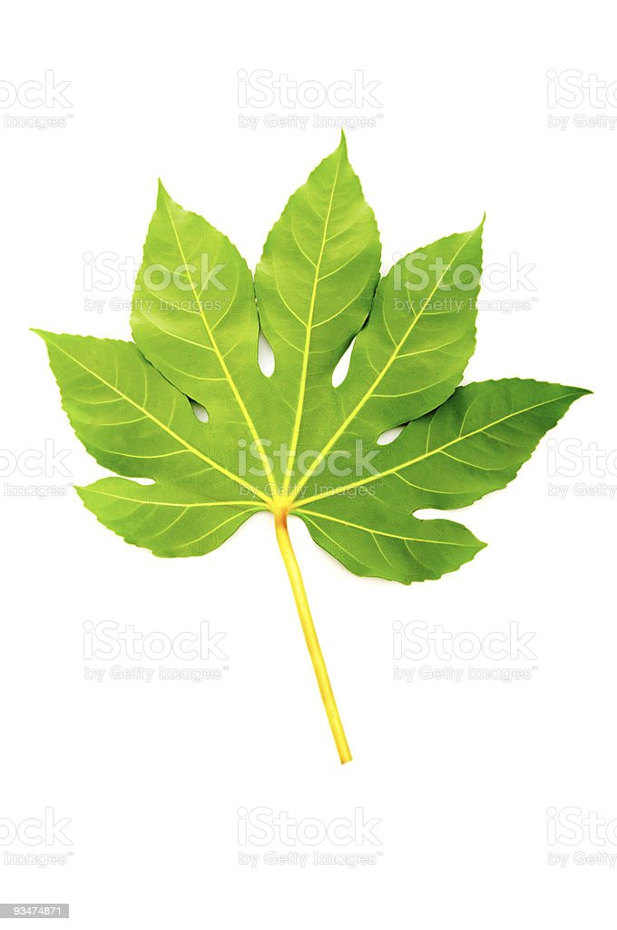 Green fig leaf isolated on the white stock photo