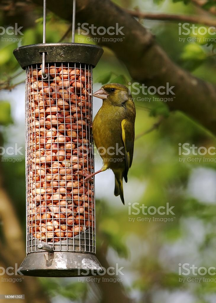 Green Finch at feeder stock photo