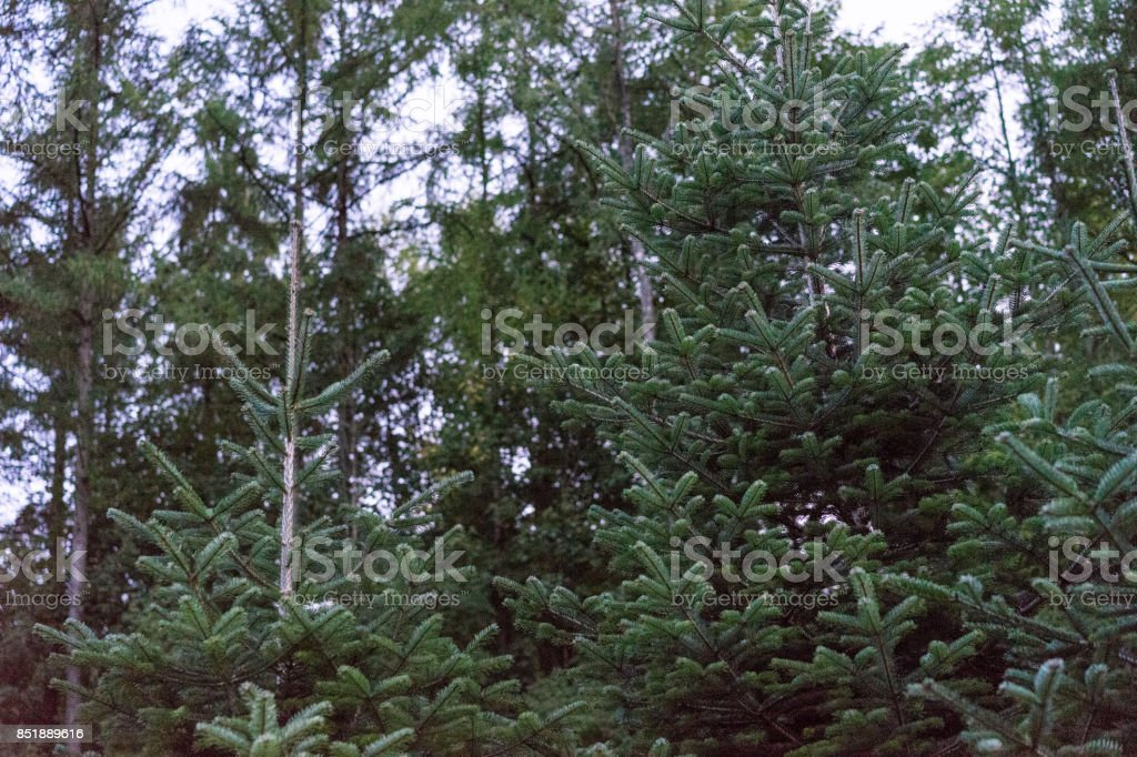green fir abies tree in forrest low angle view with trees christmas tree stock photo