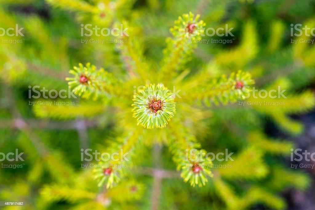 green fir tree close up in summer stock photo