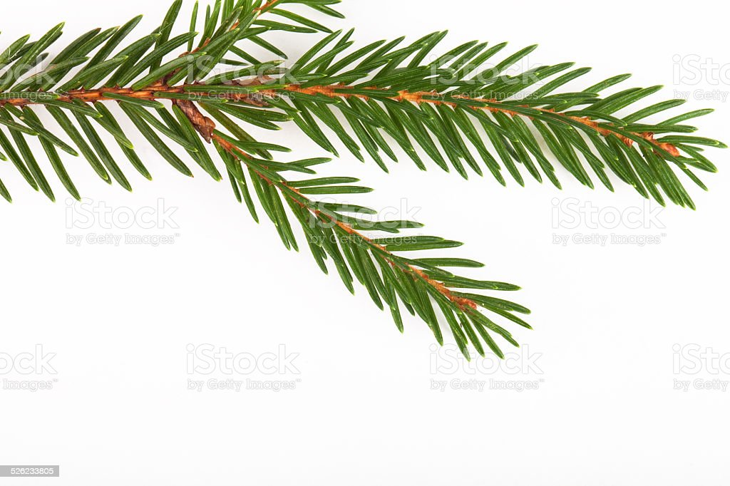 green fir twig isolated on white background stock photo