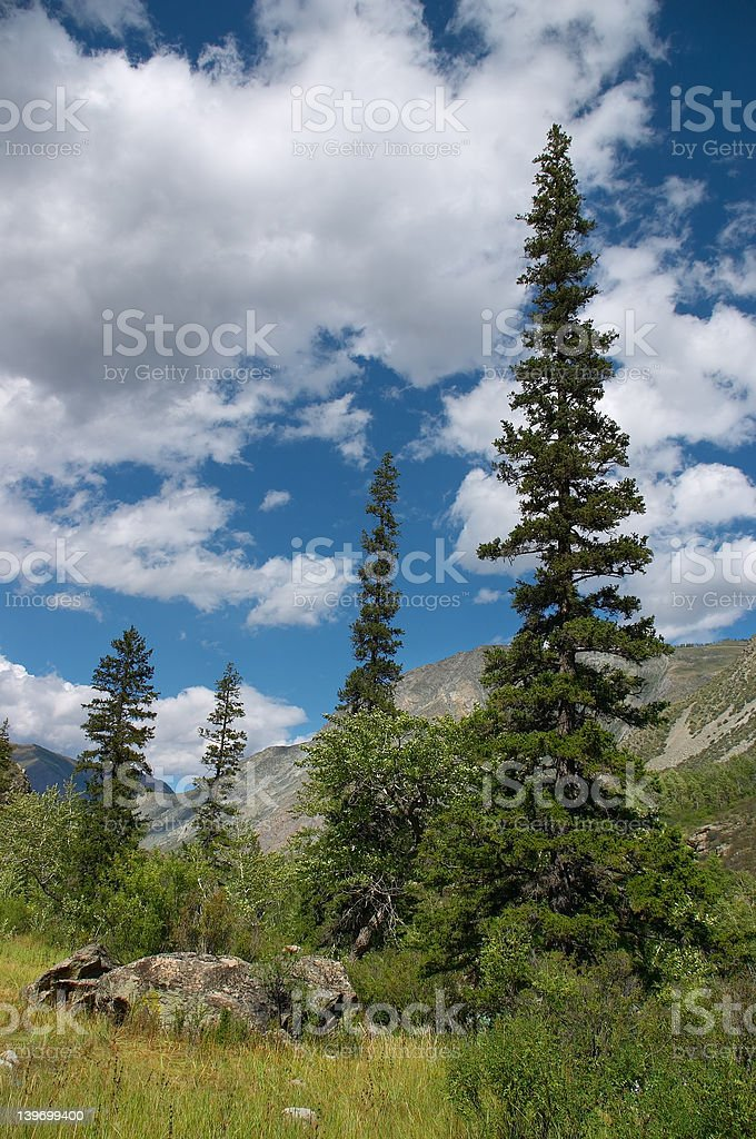 Green firs and blue skies-01 royalty-free stock photo