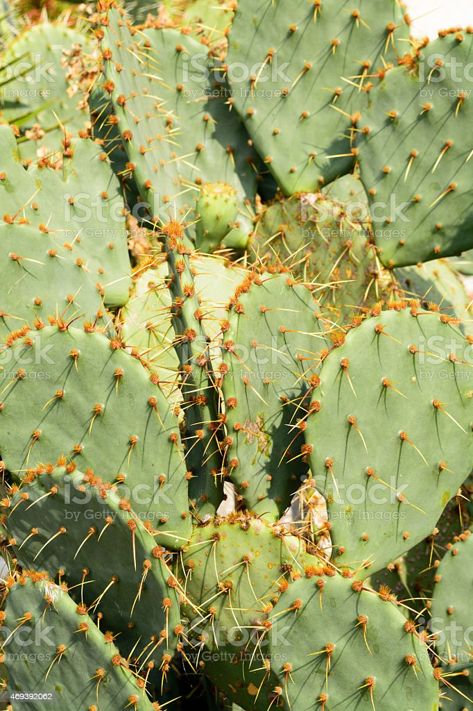 Green flat rounded cladodes of opuntia cactus, Balchik stock photo