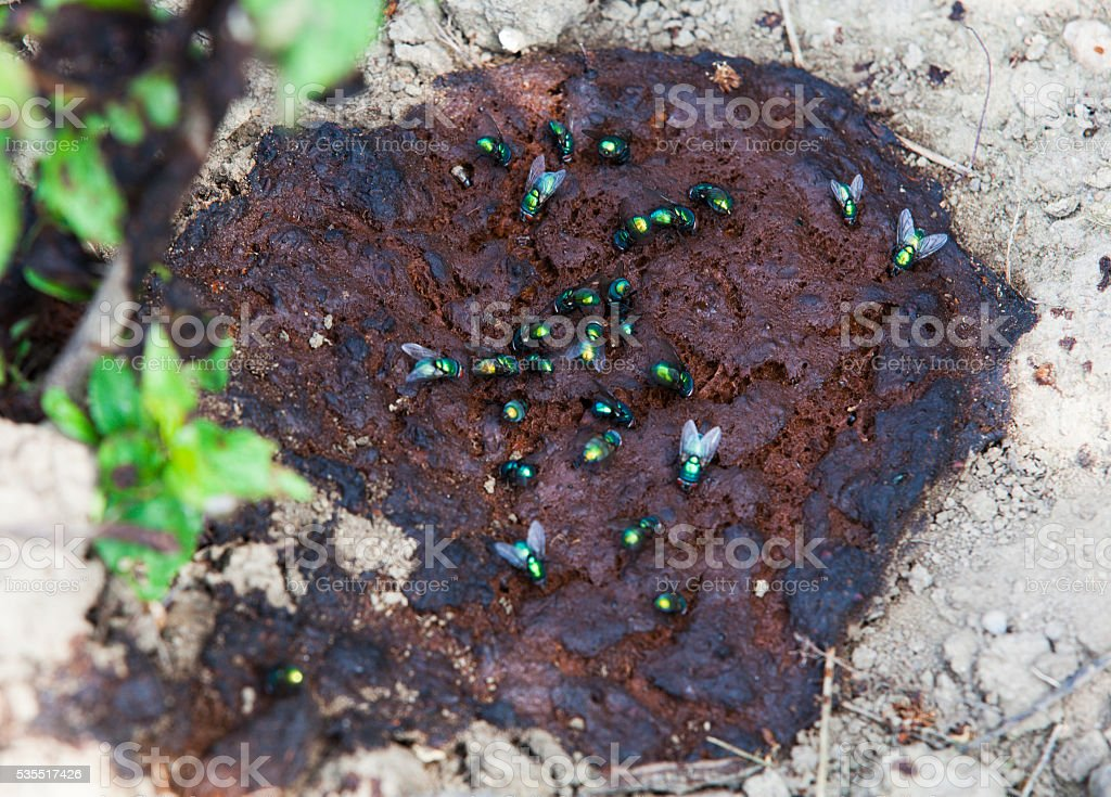 Green flies feasting on human feces in nature. stock photo