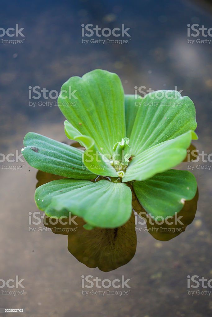 green floating water lettuce close up stock photo