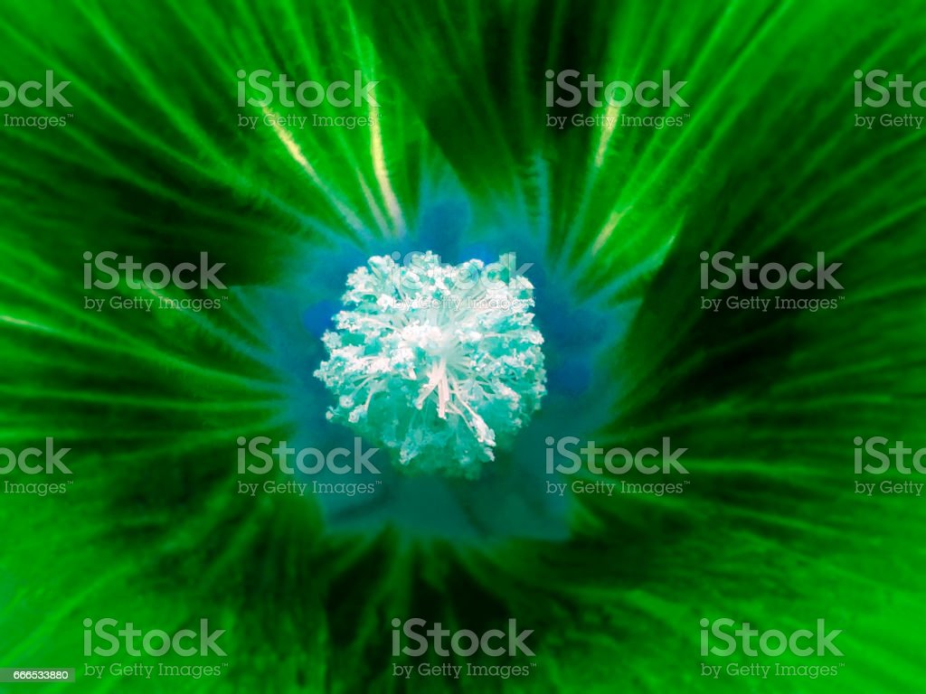 green flower on a blurred background. Macro. Closeup. Furry light blue center.  For design. Nature. stock photo