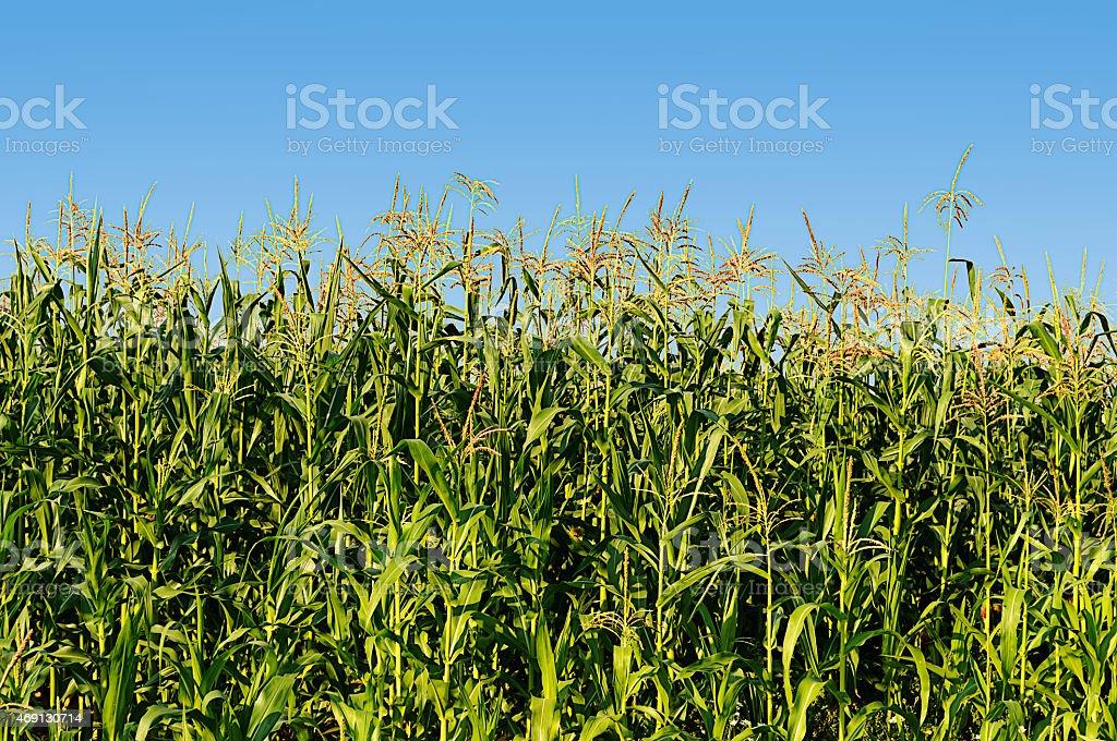 Green flowering corn field stock photo