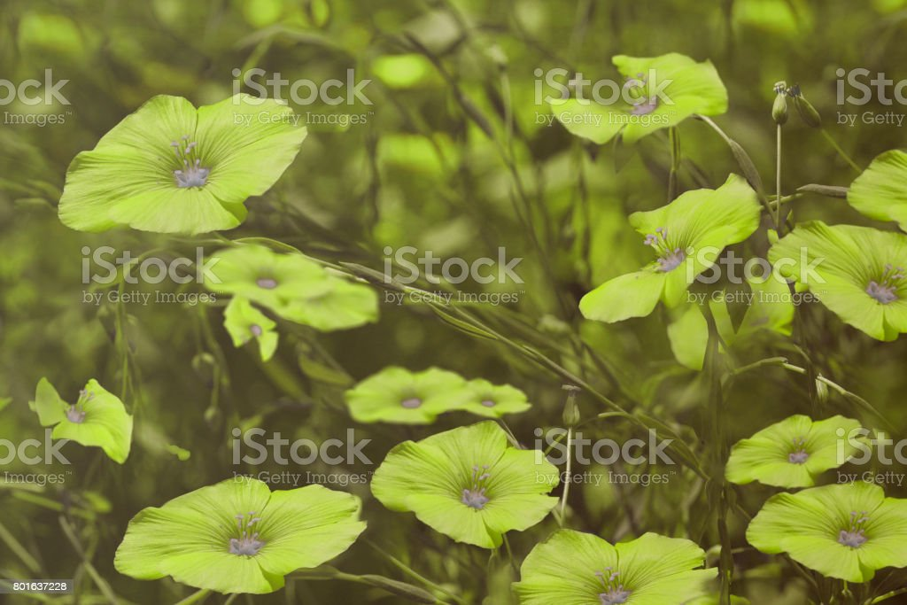 Green flowers on blurry  background. Floral background. Green wildflowers in the grass.Nature. stock photo