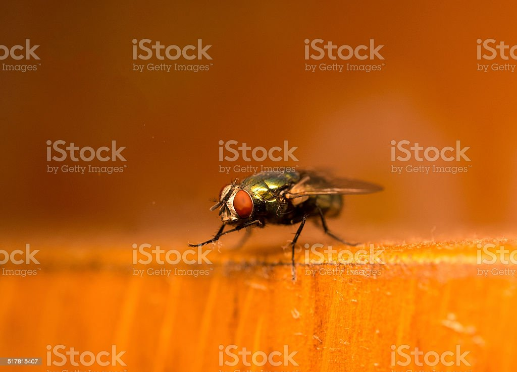 Green fly cleaning its legs stock photo