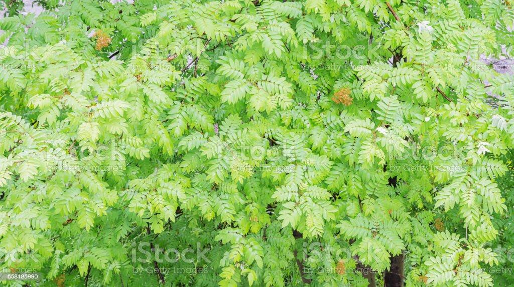 Green foliage of mountain ash stock photo