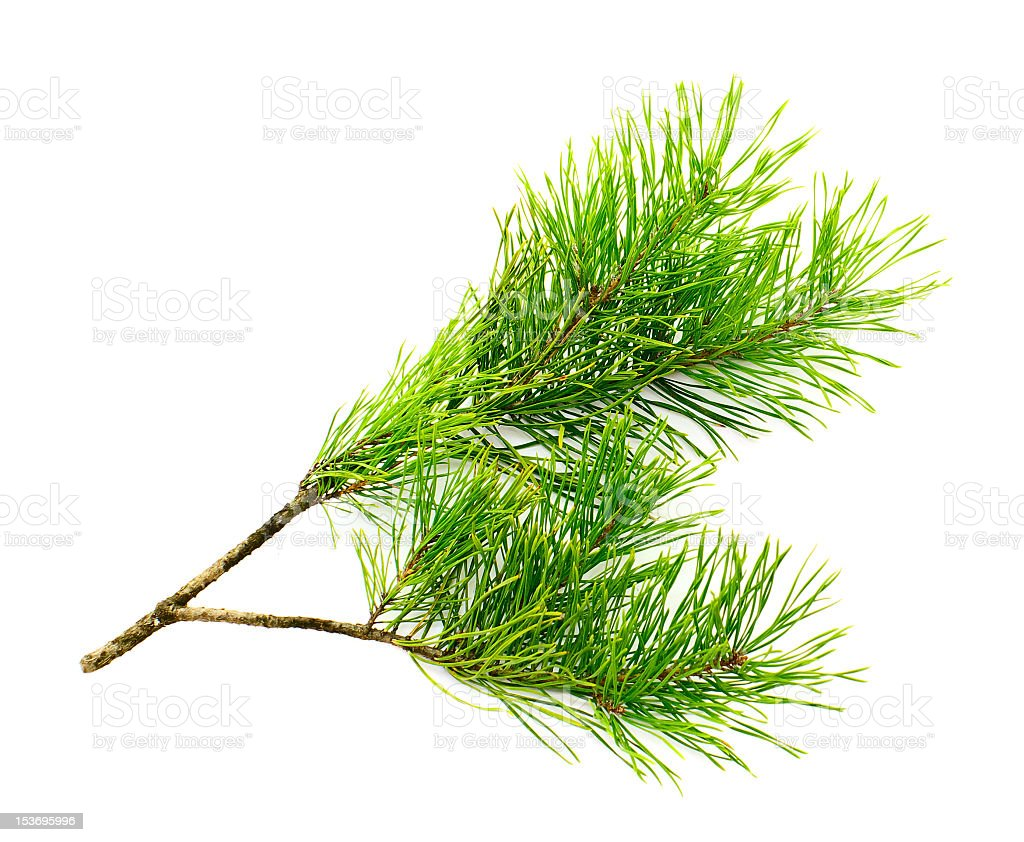 Green foliage of the sweet smelling cedar tree stock photo
