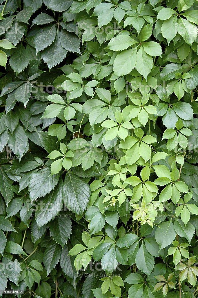 Green foliage. royalty-free stock photo