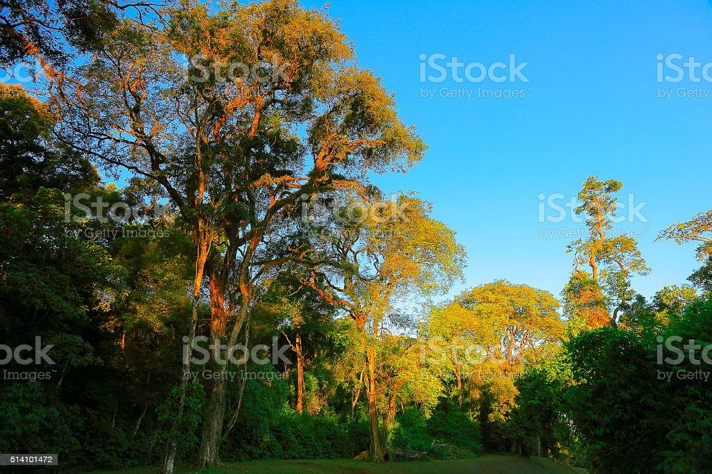 green foliage rainforest at gold sunset, Brazil Argentina, South America stock photo