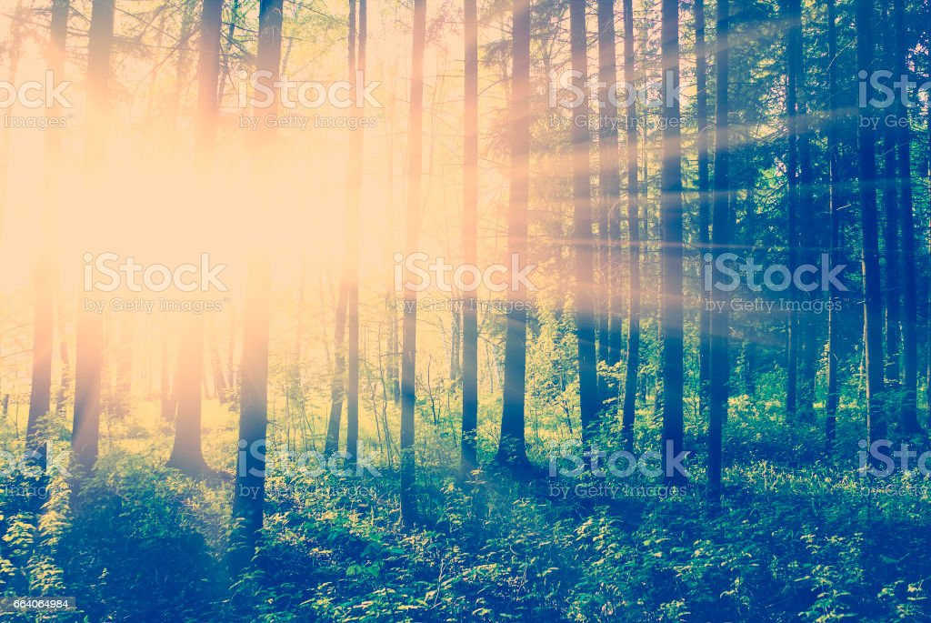 green forest at sunset stock photo