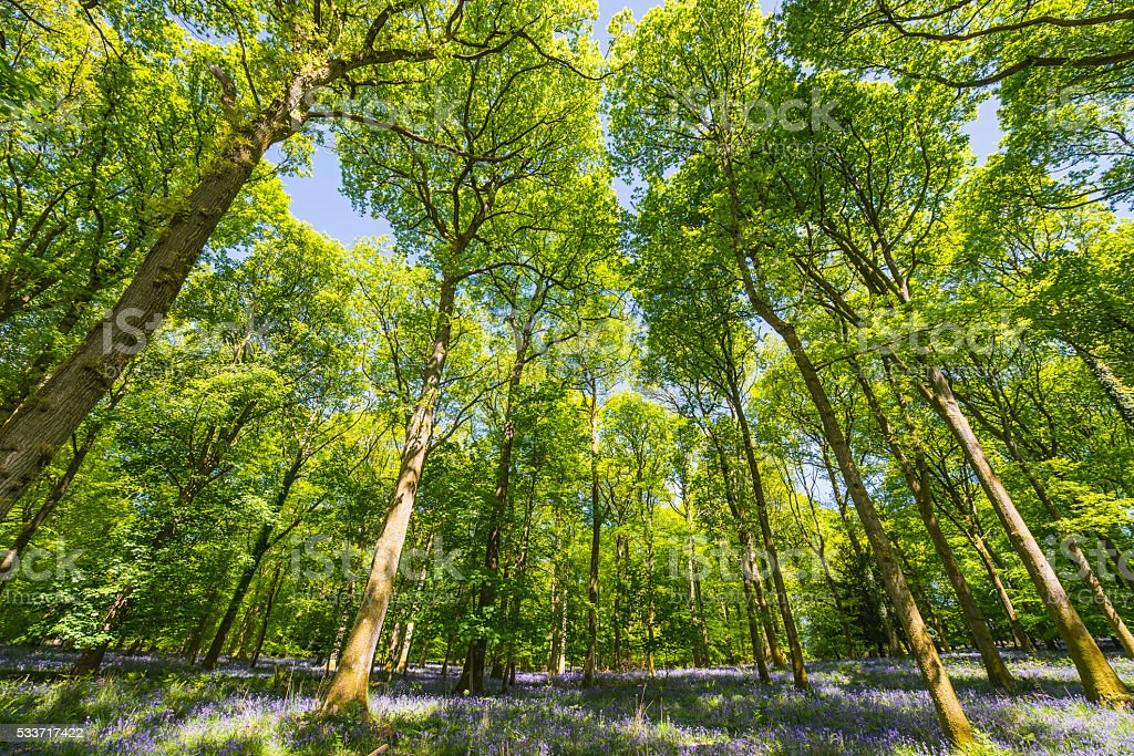 Green forest canopy soaring over idyllic bluebell glade summer woodland stock photo