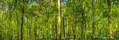 Green forest foliage dappled sunlight deep in summer woods panorama