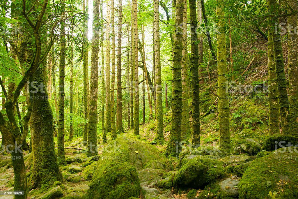 Green Forest in Ireland stock photo