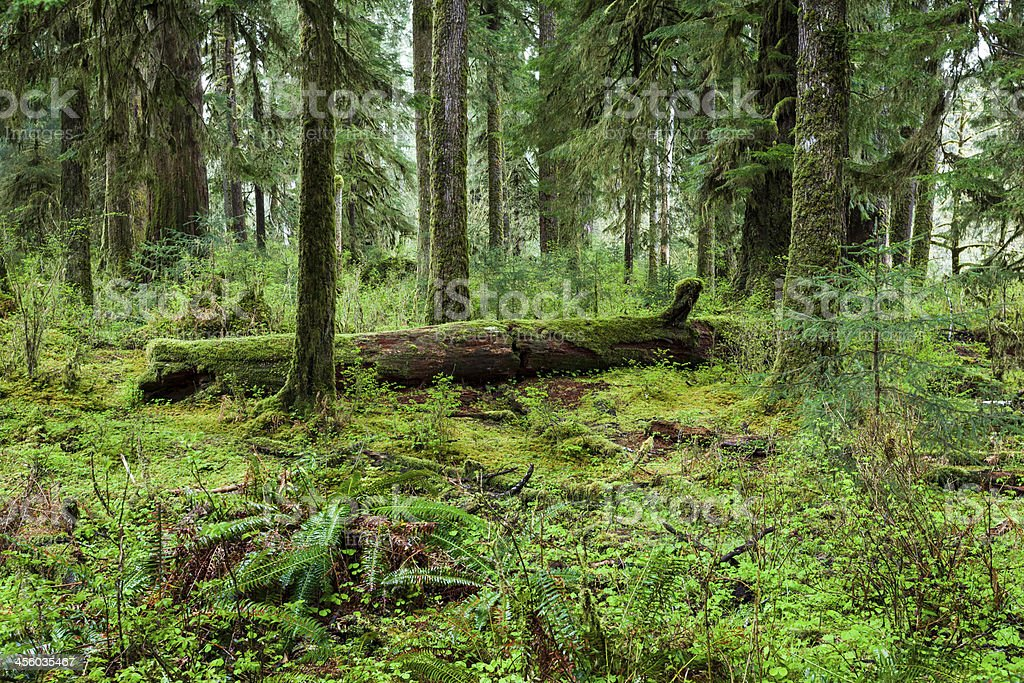 green forest in Olympic national park stock photo