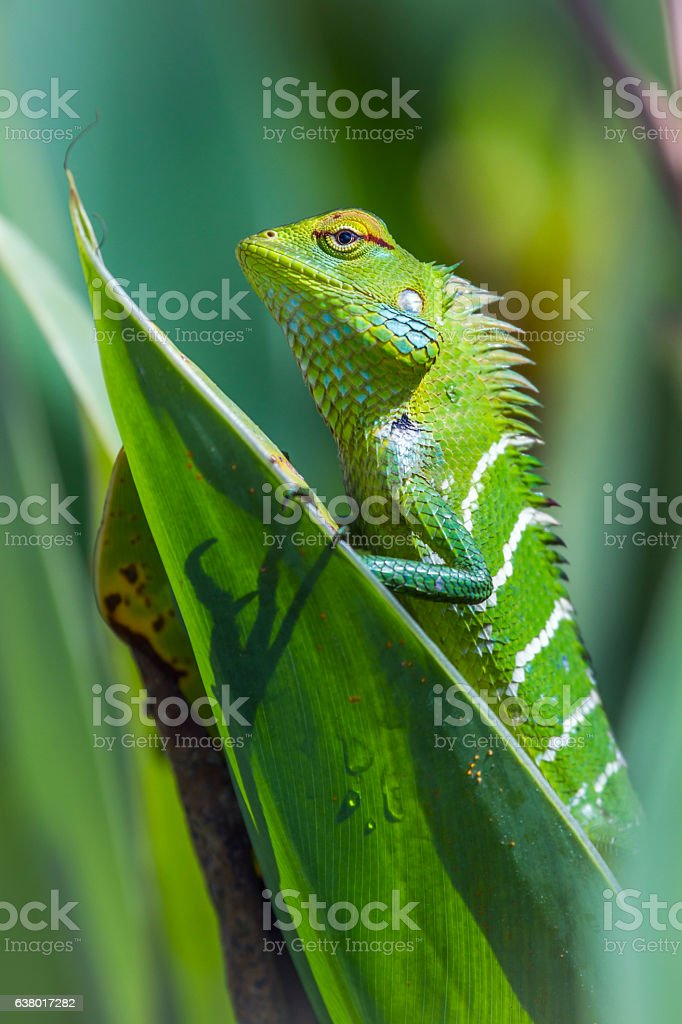 green forest lizard in Ella, Uva province, Sri Lanka stock photo