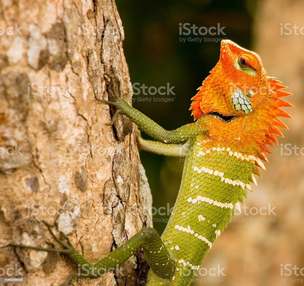 Green Forest Lizard stock photo